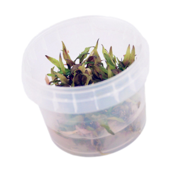 Cryptocoryne wendtti 'Brown' In-Vitro Becher