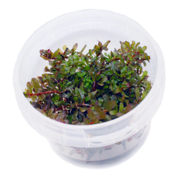 Rotala rotundifolia 'Colorata' In-Vitro Becher