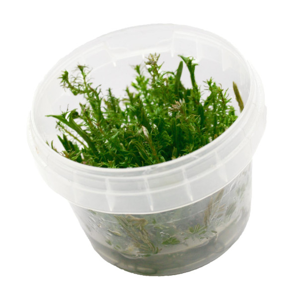 Rotala wallichii Invitro Becher
