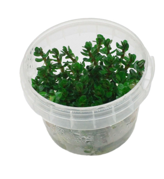 Rotala indica Ammania Bonsai In-Vitro