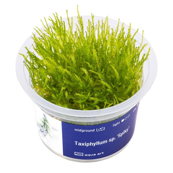Taxiphyllum sp. 'Spiky Moss' In-Vitro Becher