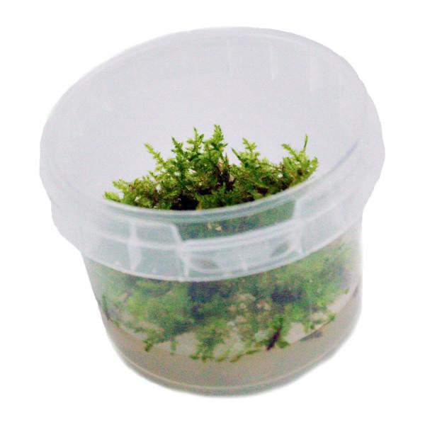 Vesicularia dubyana 'Christmas Moss' In-Vitro Becher