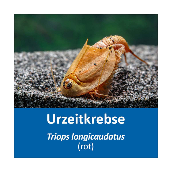 Triops longicaudatus rot Eier