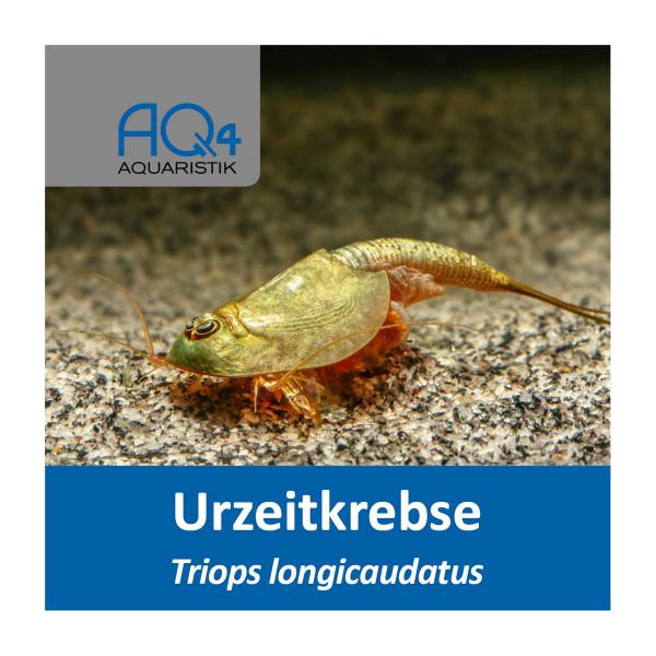 Triops longicaudatus Eier - Zuchtansatz
